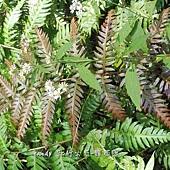 (烏毛蕨科)頂芽狗脊蕨的幼葉