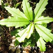 (苦苣苔科)石吊蘭,  空有「蘭」名,實非蘭科。被稱石吊蘭大概跟她著生在岩石、樹上,垂枝而下有關。  其漏斗形筒狀花是典型的苦苣苔科花徽。石吊蘭通常散生全島低至中海拔山谷。