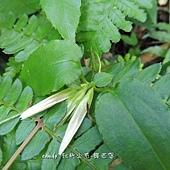 (龍膽科)台灣肺形草-花萼萼片較長