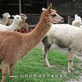 (駱駝科)羊駝