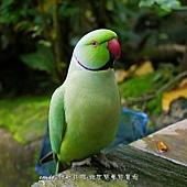 紅領綠鸚鵡又稱玫瑰環鸚鵡、環頸鸚鵡、月輪