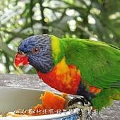 (鸚鵡科)澳洲彩虹吸蜜鸚鵡
