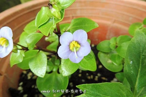 (龍膽科)紫芳草