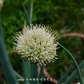 (石蒜科)蔥花