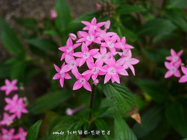 (茜草科)繁星花