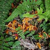 (棕櫚科)山棕開的花
