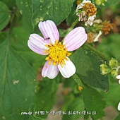 (菊科)大花咸豐草(粉色)