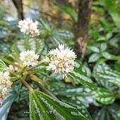 (蕁麻科)花葉冷水花
