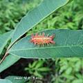 (刺蛾科)八字褐刺蛾,幼蟲,紅色斑點的個體。