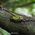 (刺蛾科)基黃綠刺蛾