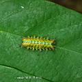 (刺蛾科)八字褐刺蛾,幼蟲 ,黃色型個體。