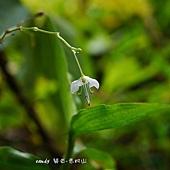 (鴨跖草科)毛果竹葉菜的花