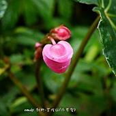 (秋海棠科)水鴨腳秋海棠花
