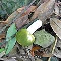 (紅菇科)銅綠紅菇