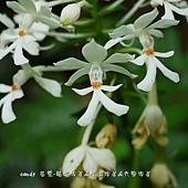 (蘭科)白鶴蘭