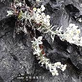 (菊科)玉山抱莖籟簫。玉山抱莖籟簫為多年生草本,屬於陽性植物,多長於岩石的縫隙上。