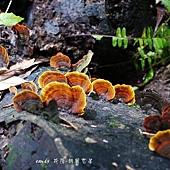 (皮革菌科)蠔韌革菌
