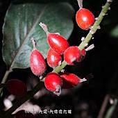 (薑科)山薑的果實(日本月桃)