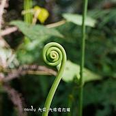 (裏白科)蔓芒萁的嫩芽(無毛的嫩芽是蔓芒萁)