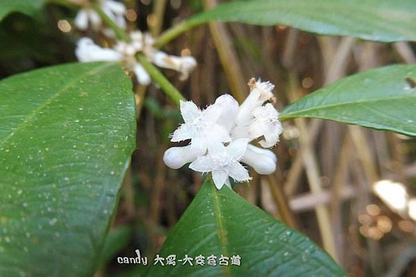 (茜草科)雞屎樹的花