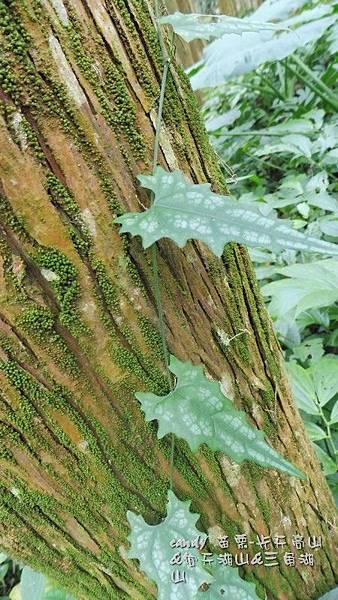 (葫蘆科)芋葉括樓幼株  芋葉括樓在低中海拔常見,因葉形變化大(幼株之葉形跟成株葉形完全不同),  即或在野地見到她,認識的也不多。