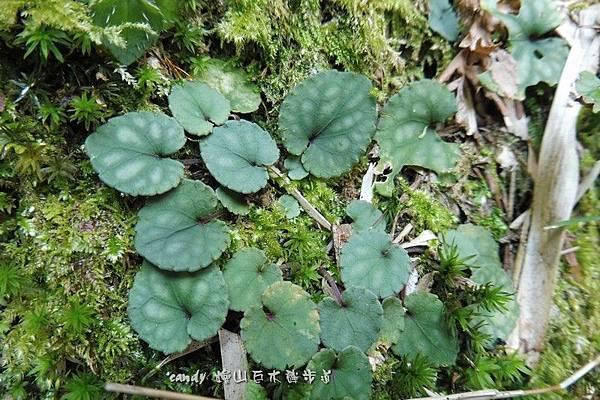 (堇菜科)台灣堇菜,台灣堇菜的中央辮片卻是5個花瓣片中最長的,圓葉台灣堇菜具走莖,節上生根並密生蓮座狀葉。葉闊心形至圓形,圓齒緣,上表面灰綠色斑塊相間,下表面常呈紫紅色。
