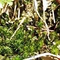 (金髮蘚科.土馬騣科)土馬騌金髮蘚屬,葉片披針形。
