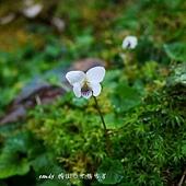 (菫菜科)喜岩菫菜,花近白色帶深紫色脈紋。喜生中高海拔邊坡或岩壁上。
