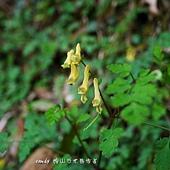 (紫菫科)台灣黃菫