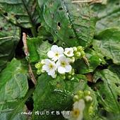 (紫草科)台北附地草