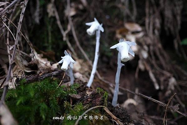 (鹿蹄草科)水晶蘭,不是蘭花,也不是蕈類,屬於鹿蹄草科植物。