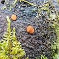(肉杯菌科)盾盤菌、大孢毛杯菌  盾盤菌屬 (Scutellinia)是一群具有橘紅色至黃色盤狀子囊果的子囊菌,  它們的共同特徵是子囊盤邊緣密生有棕色剛毛。
