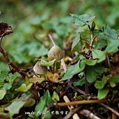 (絲膜菌科)苔蘚盔孢傘