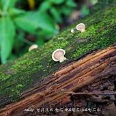 (多孔菌科)相鄰小孔菌