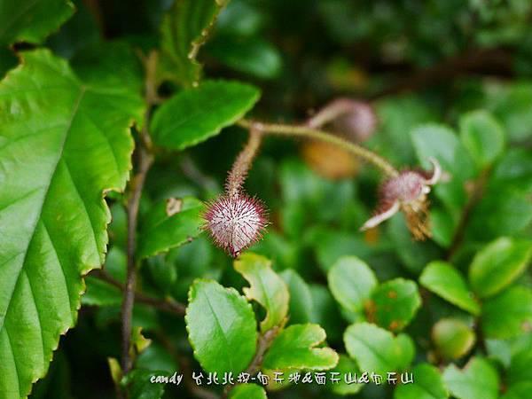 (薔薇科)斯氏懸鉤子花苞