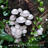 (口蘑科)叢傘絲牛肝菌