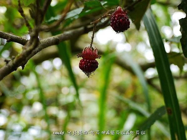 (薔薇科)斯氏懸鉤子果實