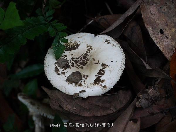 (鹅膏菌科)角鱗白鵝膏
