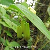 (百合科)台灣寶鐸花