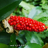 (天南星科)姑婆芋鮮紅的果實