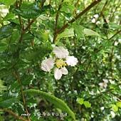 (黃褥花科)刺葉黃褥花