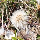 (菊科)玉山毛蓮菜種子
