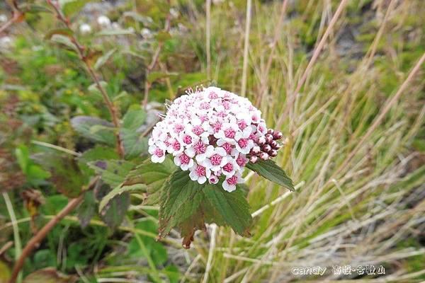 (薔薇科)玉山繡線菊