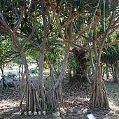 (露兜樹科)紅刺露兜樹,根狀似章魚又稱為紅章魚樹。