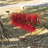 (桃金孃科)紅瓶刷子樹