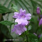 (爵床科)馬藍又稱大菁,葉面光亮無毛,花較大朵。說到「馬藍」也許比較少人知道,但提起「大青」,可能就不同了,喜愛藍染的一定都知道「染布青」這種植物,她的莖葉就是藍染的顏色素材。