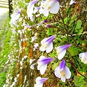 (玄參科)通泉草,葉片生長如蓮座狀,邊緣不規則鋸齒,葉倒披針形。