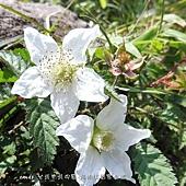 (薔薇科)刺莓花