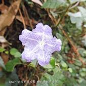 (爵床科)曲莖馬藍,開花小莖上的葉片變小,形成大葉包小葉奇觀。花卉藍紫色,屬於台灣特有種。