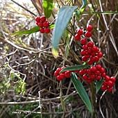 ( 紫金牛科)百兩金,葉子細長,果紅色。